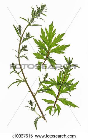 Stock Image of Mugwort (Artemisia vulgaris) k10337615.