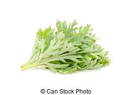 Stock Photo of Common Wormwood (Artemisia Vulgaris) Isolated on.