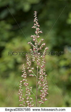 "Stock Image of ""Mugwort or Common Wormwood (Artemisia vulgaris."