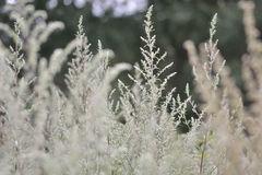 Mugwort (Artemisia Vulgaris) Stock Photo.