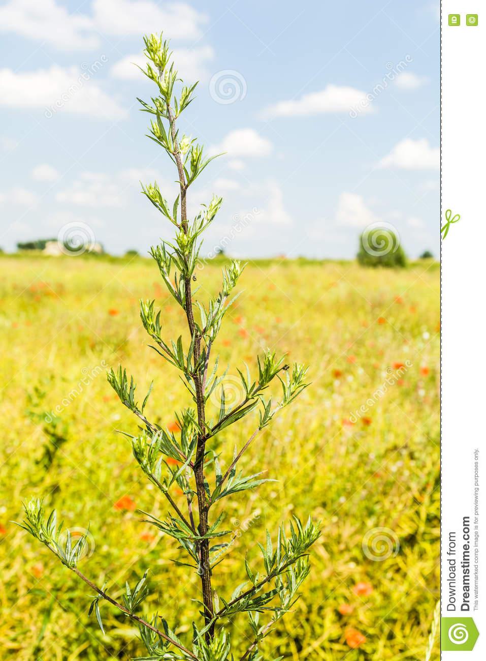 Artemisia Vulgaris L. Stock Photo.