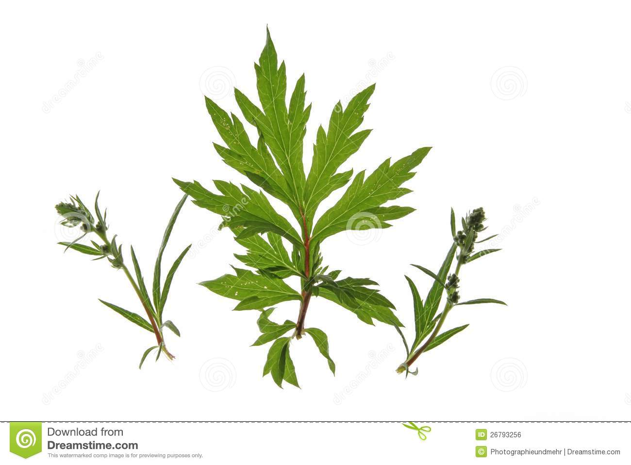Mugwort (Artemisia Vulgaris) Royalty Free Stock Images.