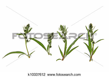 Stock Photo of Mugwort (Artemisia vulgaris) k10337612.