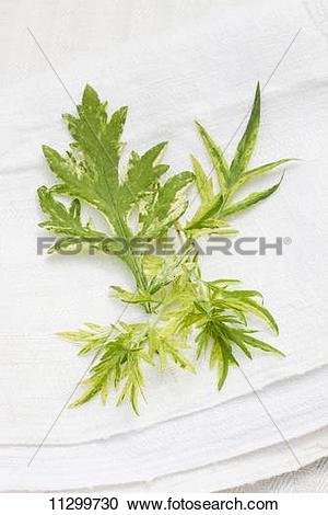 Stock Photography of Mugwort (artemisia vulgaris) on a linen cloth.