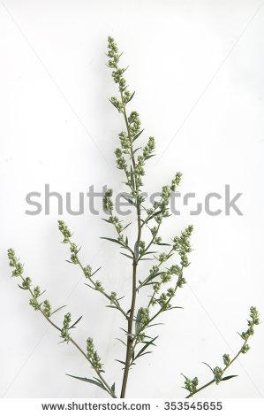 Artemisia Vulgaris Stock Photos, Royalty.