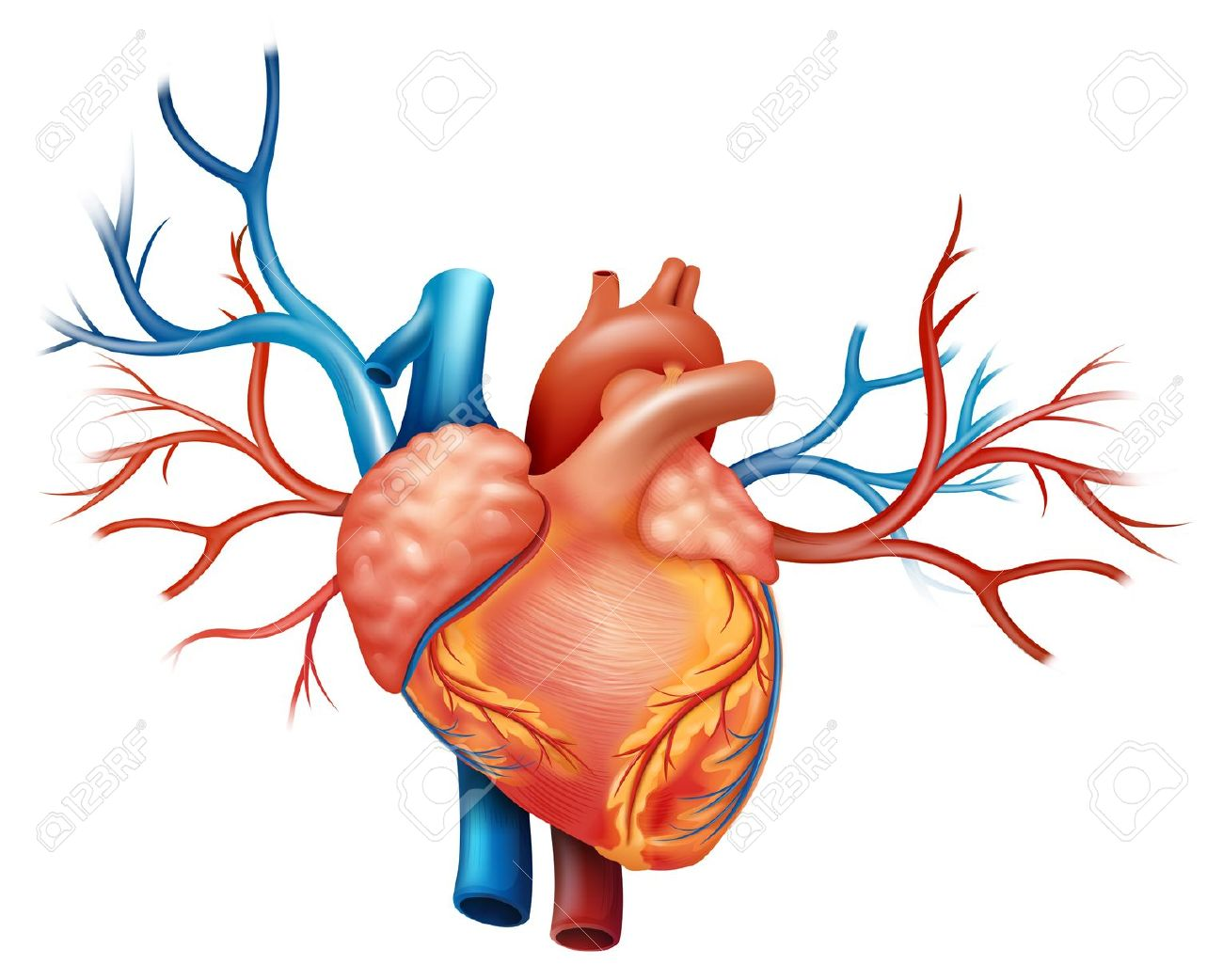 1,423 Arteries Stock Illustrations, Cliparts And Royalty Free.