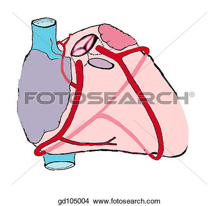 Drawings of Coronary arteries. gd105004.