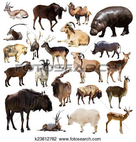 Stock Photo of Set of Artiodactyla mammal animals on white.