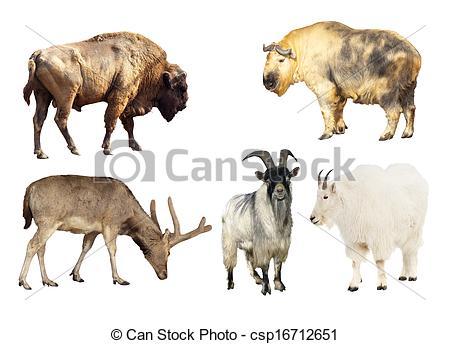 Stock Images of Artiodactyla mammal animals.