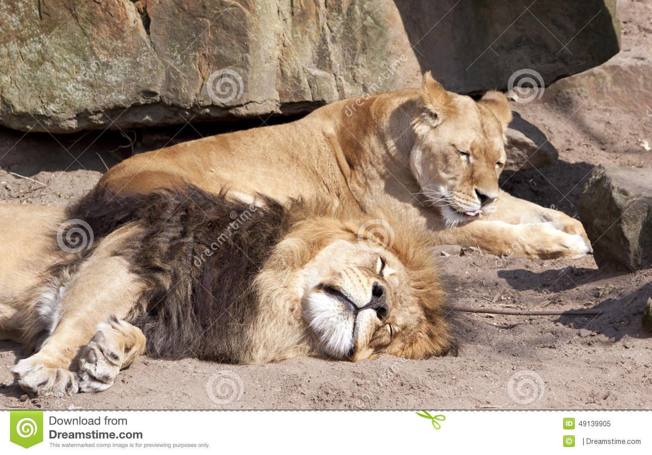 Lions At Artis Zoo Stock Photo.