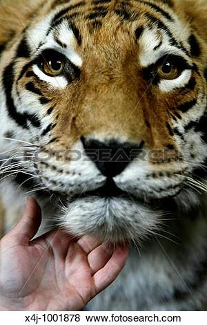 Pictures of artis: zoo in the centre of Amsterdam: the tiger x4j.