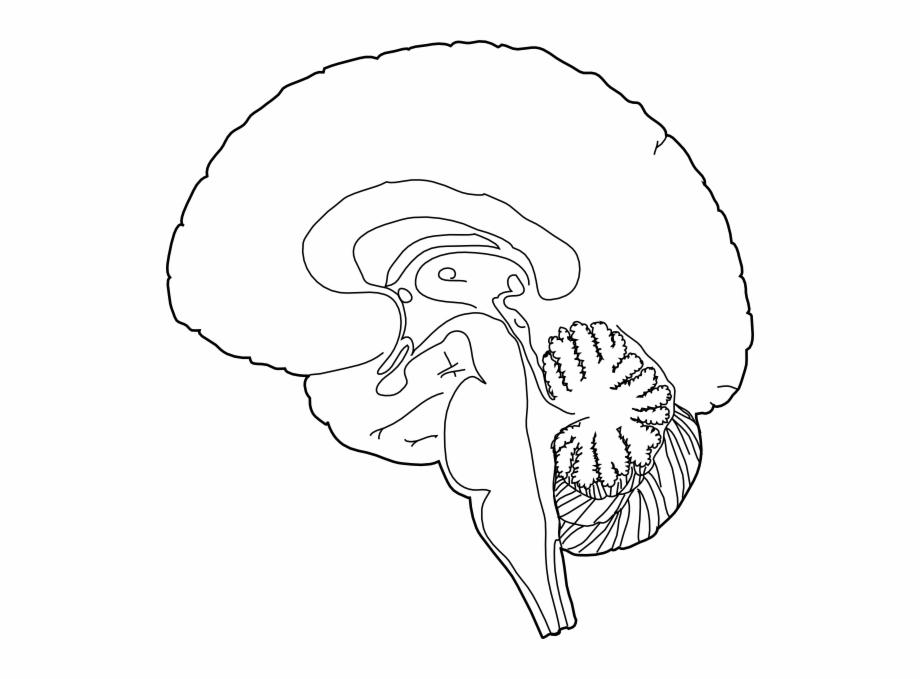 Brain Clipart Simple.