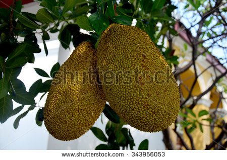Artocarpus Heterophyllus Stock Photos, Royalty.