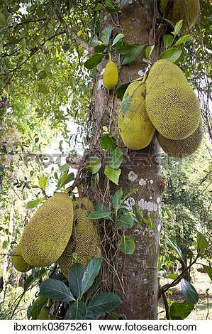 "Stock Photography of ""Jackfruit or Jack Tree (Artocarpus."