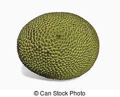 Stock Photographs of Jackfruit, Artocarpus heterophyllus Lam.