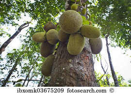 Jackfruit Stock Photo Images. 1,835 jackfruit royalty free.