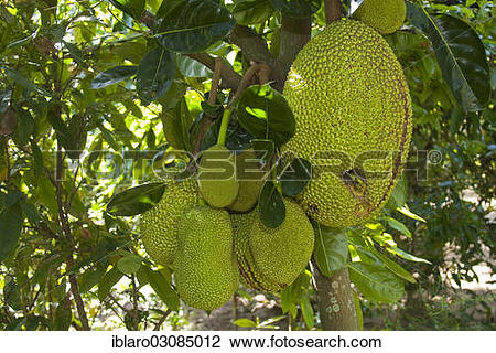 "Stock Photo of ""Fruit on a Jackfruit tree (Artocarpus."