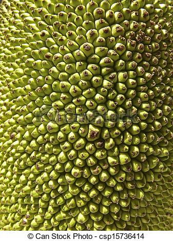Stock Photography of Jackfruit, Artocarpus heterophyllus Lam.