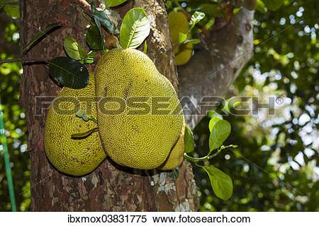 "Stock Image of ""Jackfruits (Artocarpus heterophyllus) growing on a."