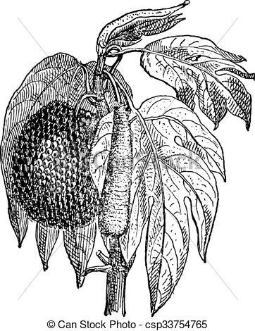 Clip Art Vector of Jackfruit (Artocarpus heterophyllus), vintage.