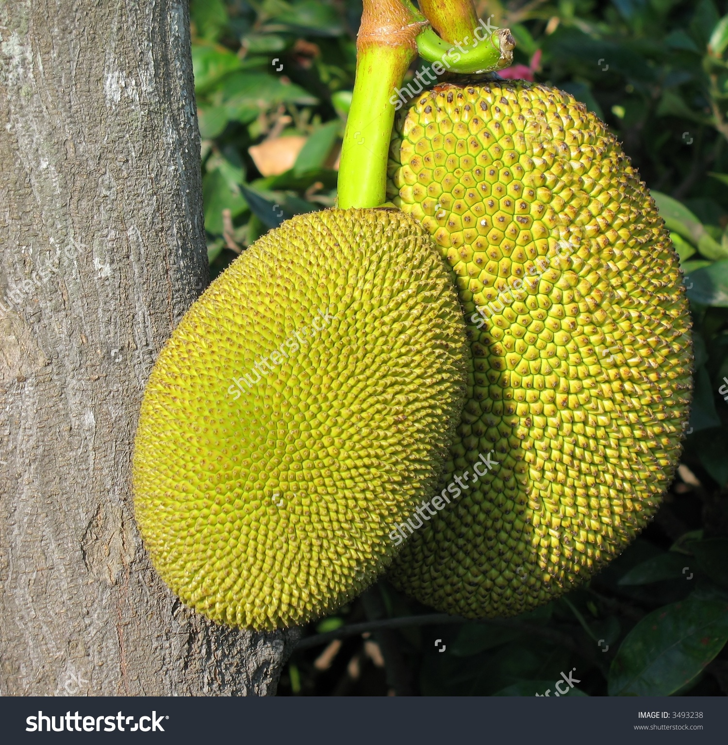 Ripe Jackfruits Scientific Name This Fruit Stock Photo 3493238.