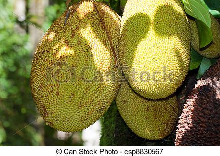 Picture of jackfruit artocarpus heterophyllus moraceae csp8830567.
