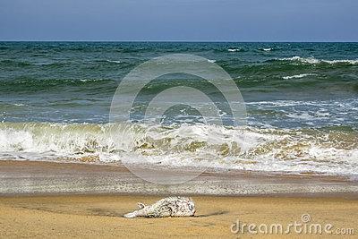 Puffer Fish, Dead, On The Beach, Arugam Bay, Sri Lanka Stock Photo.