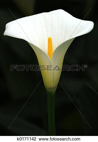 Arum lily Stock Photo Images. 1,217 arum lily royalty free images.