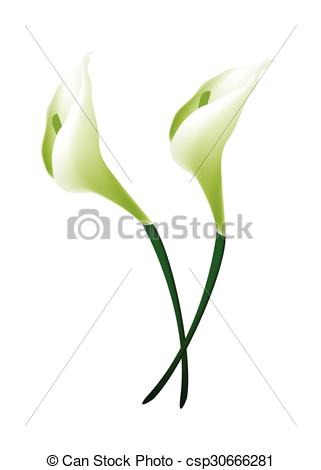 Vector of White Calla Lily Flowers or White Arum Lily Blossoms.