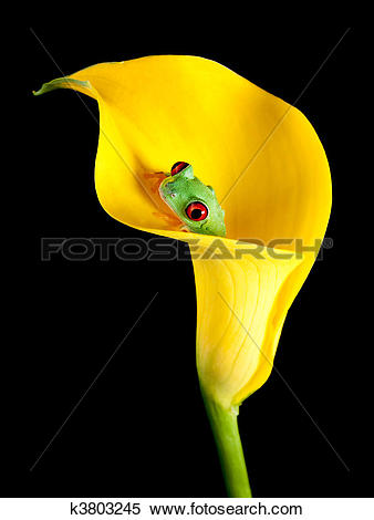 Stock Image of Frog in arum lily k3803245.