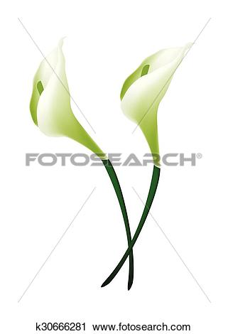Clipart of White Calla Lily Flowers or White Arum Lily Blossoms.