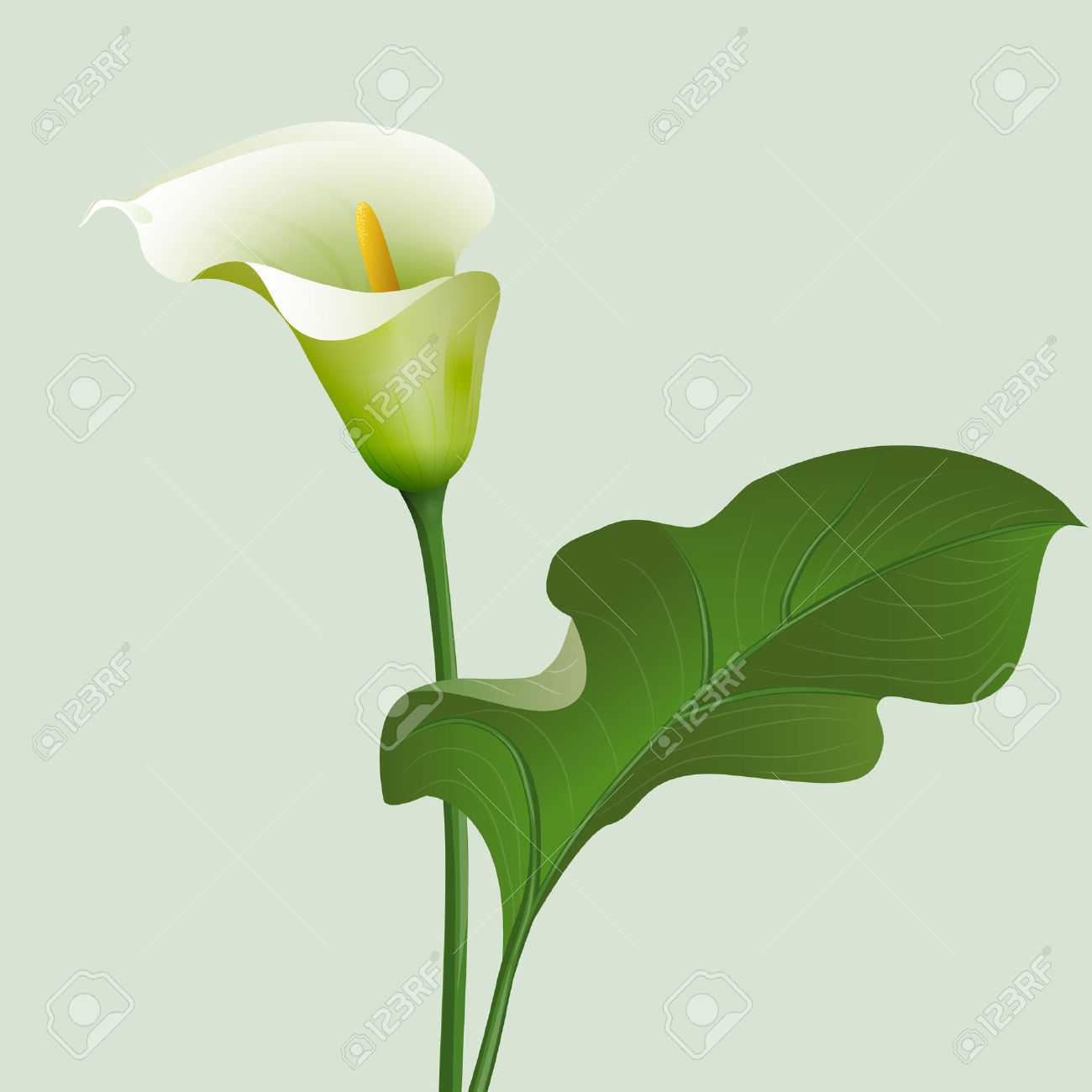 Flower Calla Lilies And Green Leaf. Royalty Free Cliparts, Vectors.
