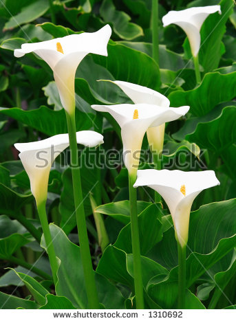Arum Lily Stock Photos, Royalty.