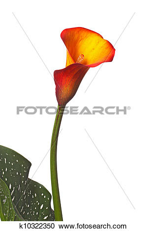 Stock Photography of Single flower of an orange calla lily and.
