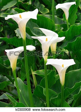 Pictures of Arum Lilies k0300908.