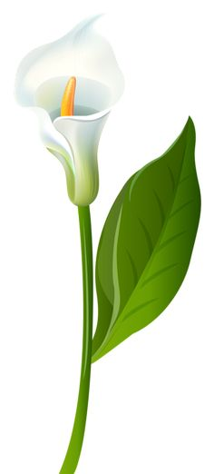 Transparent Calla Lilies Flowers PNG Clipart.