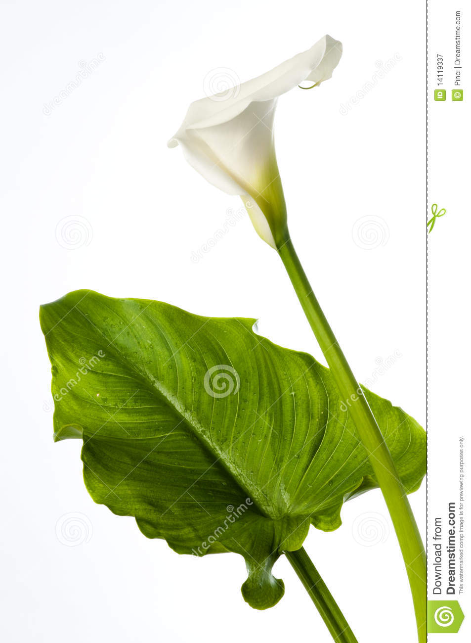 Calla Lily With Large Leaf Royalty Free Stock Photography.