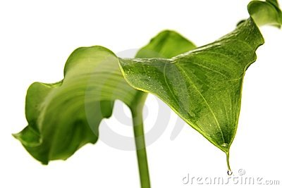 Leaf Of Arum Lily Royalty Free Stock Photography.