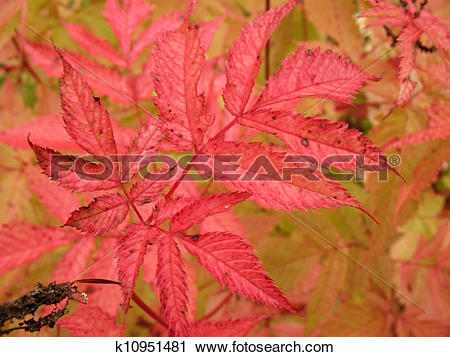 Stock Photography of Autumn leaves aruncus dioicus k10951481.