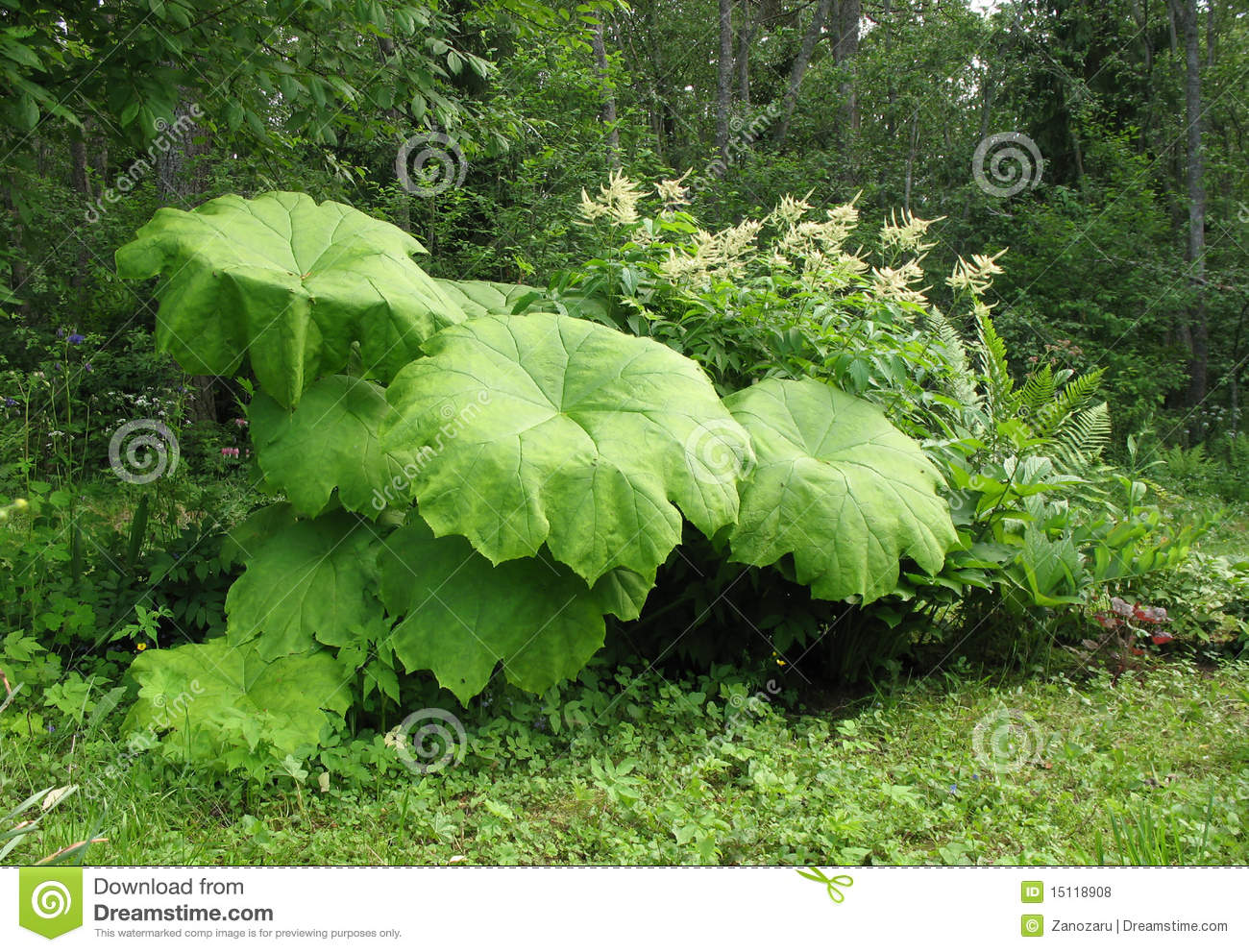Astilboides Tabularis And Aruncus Dioicus Royalty Free Stock.