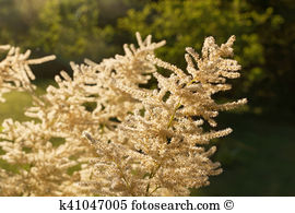 Aruncus Stock Photos and Images. 35 aruncus pictures and royalty.