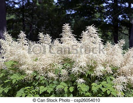 Stock Photography of Blooming Aruncus dioicus (goat's beard.