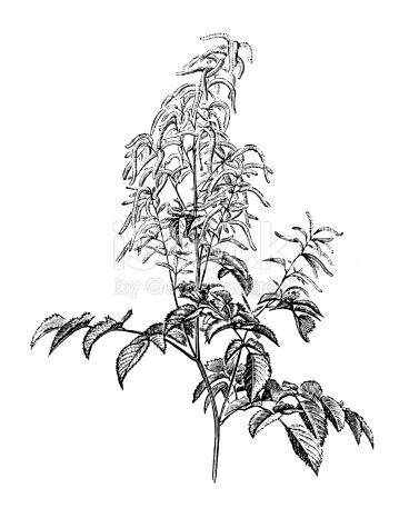Antique Illustration Of Aruncus Dioicus stock vector art 510440251.