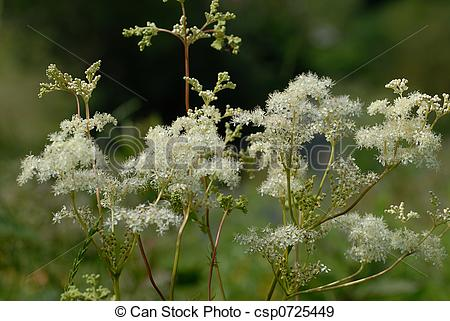Stock Photographs of Meadowsweet blooming.