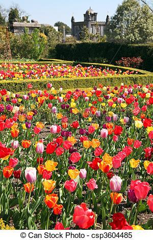 Stock Images of castle garden Arundel tulips.