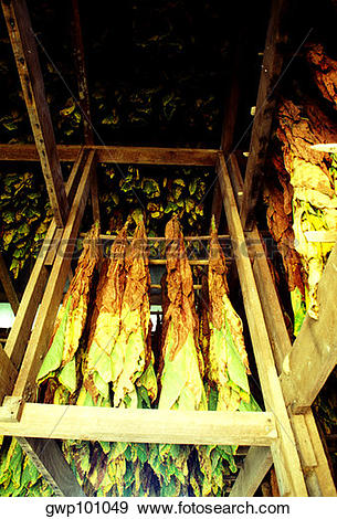 Stock Photograph of Maryland Tobacco curing in barn, Anne Arundel.