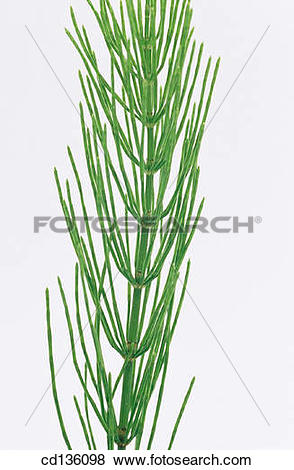 Pictures of Common Horsetail (Equisetum arvense) cd136098.