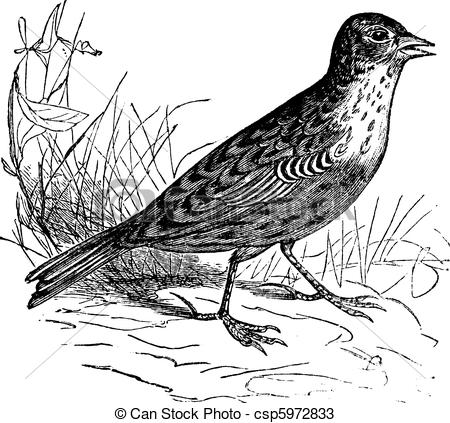 Skylark Illustrations and Stock Art. 11 Skylark illustration and.