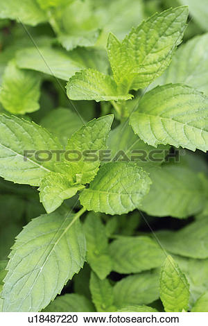 Stock Photography of Mentha arvensis var. agrestis u18487220.
