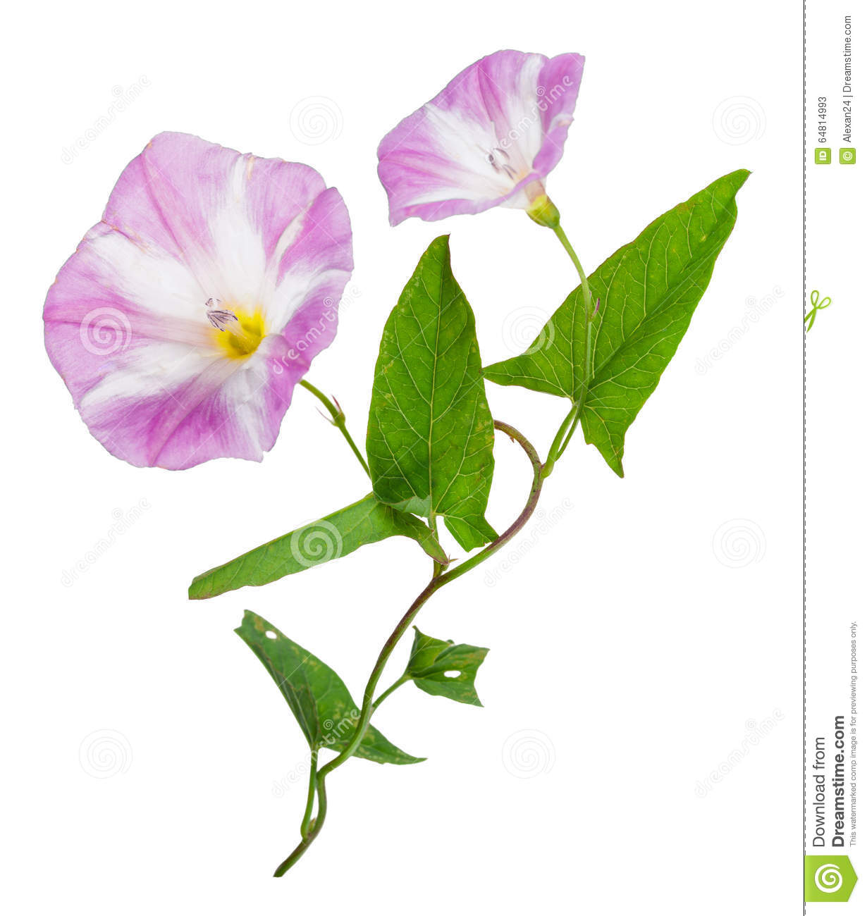 Bindweed (Convolvulus Arvensis) Pink Flower Stock Photo.